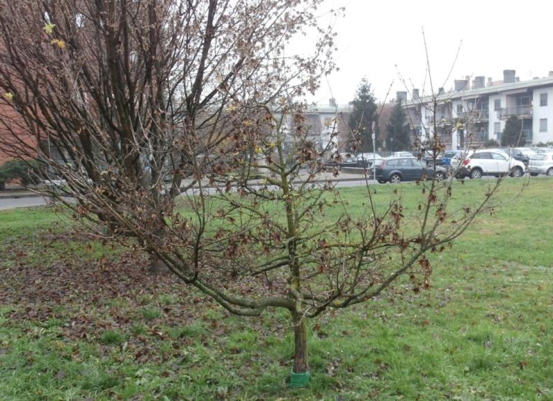 """Margotte e potature su alberi """"pubblici"""" Acero_11"""