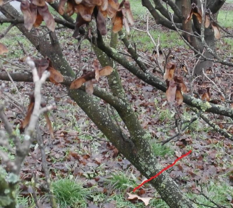 """Margotte e potature su alberi """"pubblici"""" Acero_12"""