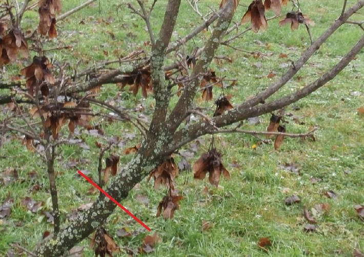 """Margotte e potature su alberi """"pubblici"""" Acero_13"""