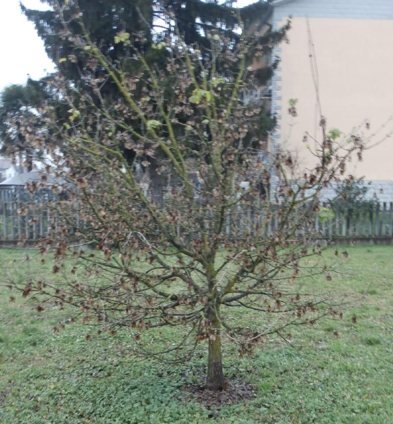 """Margotte e potature su alberi """"pubblici"""" Acero_15"""