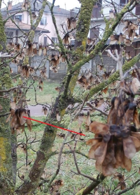 """Margotte e potature su alberi """"pubblici"""" Acero_17"""
