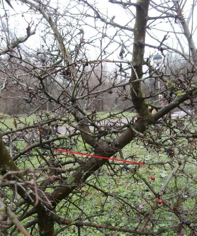 """Margotte e potature su alberi """"pubblici"""" Bianco11"""