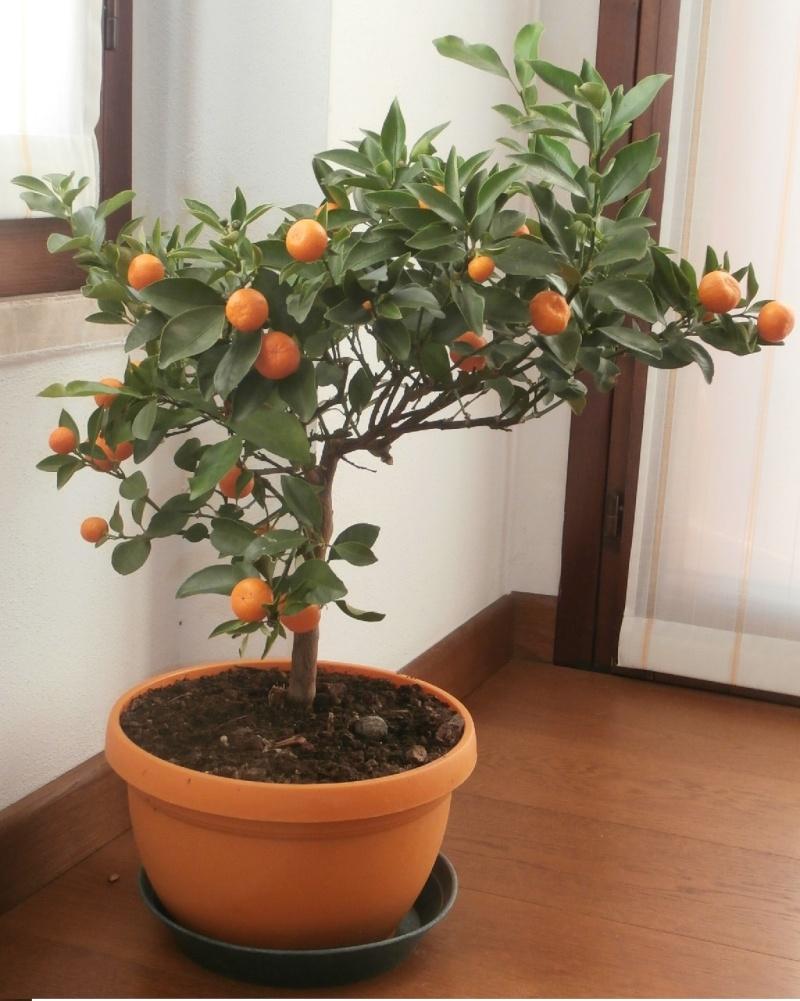 Citrus mitis o calamondino - Pagina 3 Citrus10