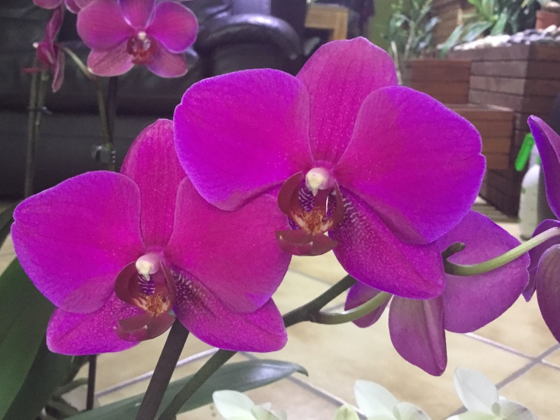 Floraison des orchidées de juin à........... Image26