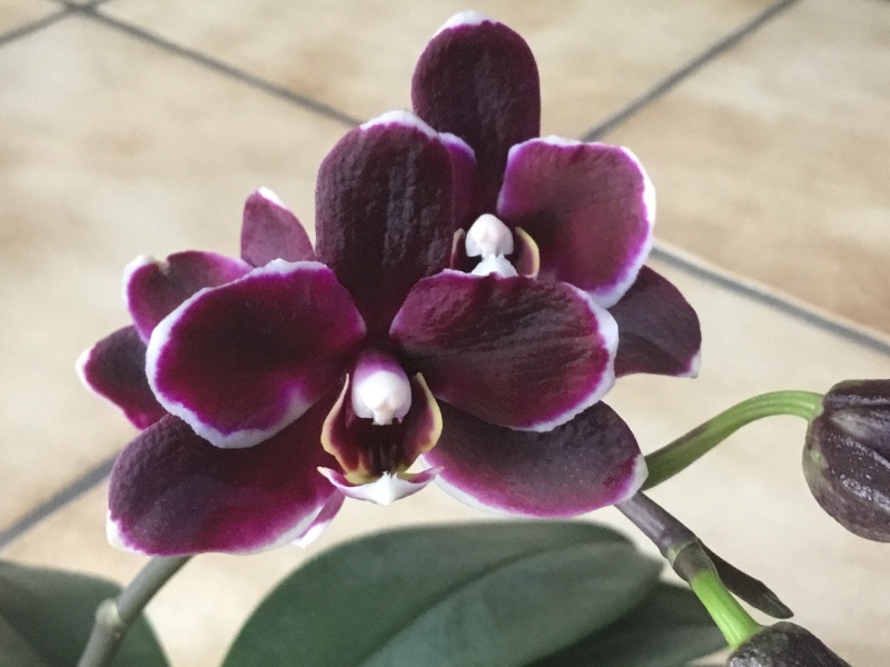 Floraison des orchidées de juin à........... Image28