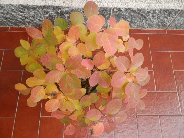 Scotano ( Cotinus coggygria ) Pa220211