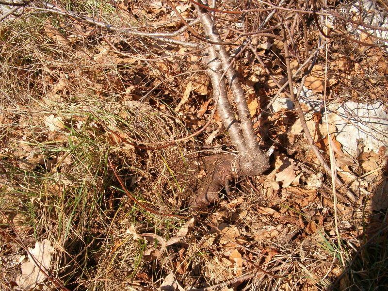 [WIP] Prunus mahaleb shoin Pru00610