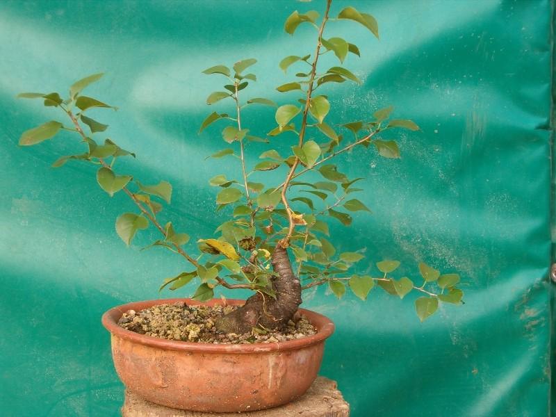 [WIP] Prunus mahaleb shoin Pru00611