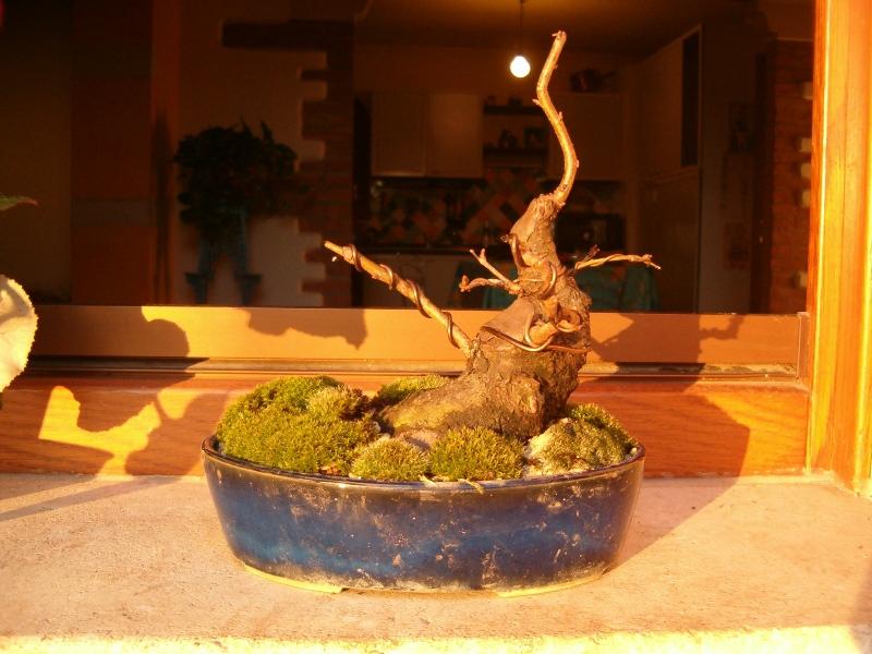 [WIP] Prunus mahaleb shoin Pru00612