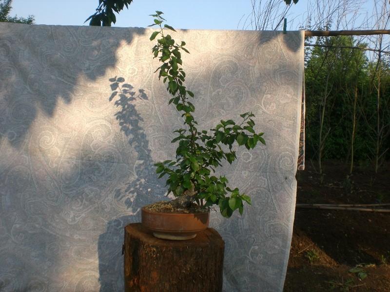[WIP] Prunus mahaleb shoin Pru00613