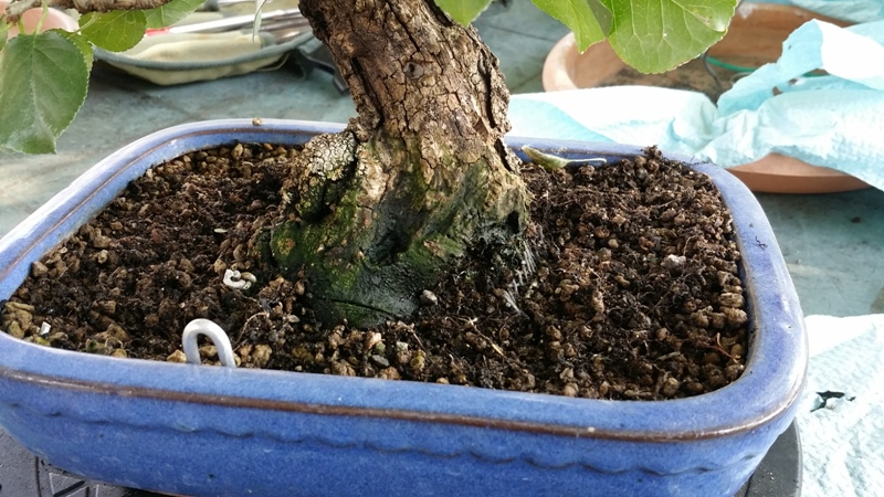 [WIP] Prunus mahaleb shoin Pru00616