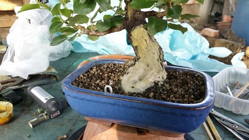 [WIP] Prunus mahaleb shoin Pru00619