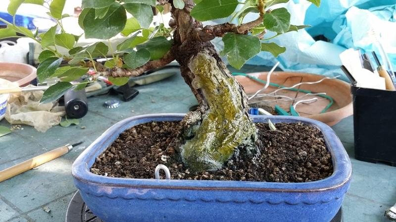 [WIP] Prunus mahaleb shoin Pru00620