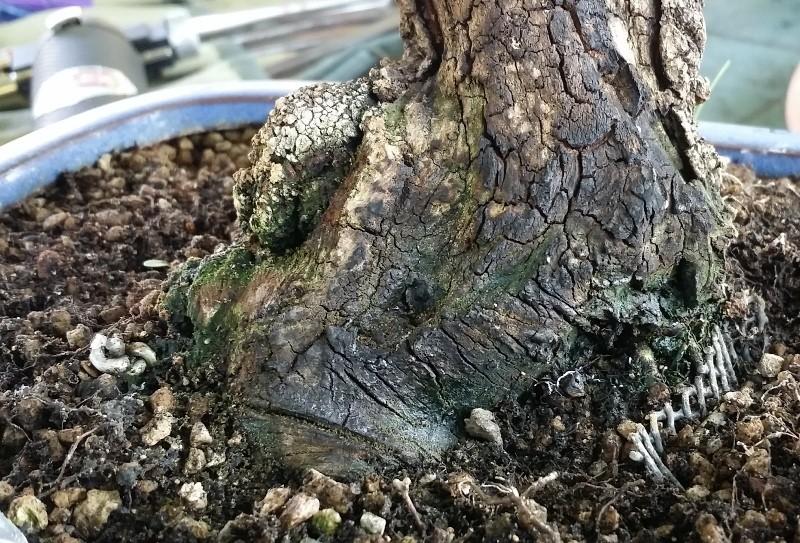 [WIP] Prunus mahaleb shoin Pru00622