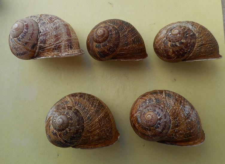 Helix aspersa f. maxima (Taylor, 1883) Dscn6814