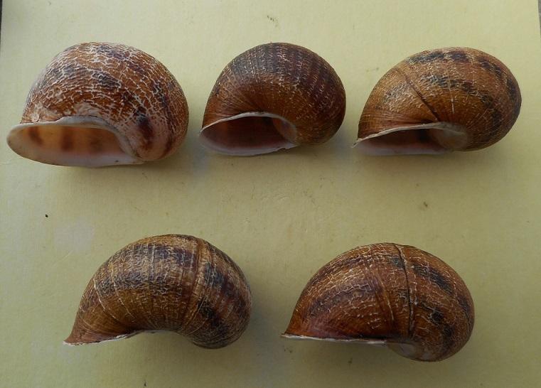 Helix aspersa f. maxima (Taylor, 1883) Dscn6815