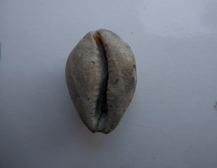 Cypraeidae - † Zonaria sp. - Burdigalien (Landes) Dscn6922