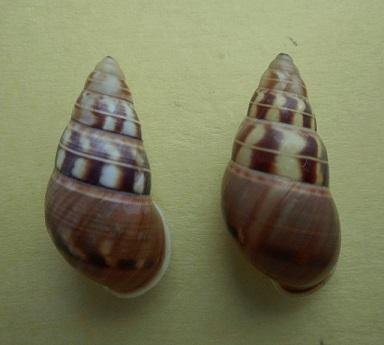 Amphidromus filozonatus (Von Martens, 1867) Dscn7010