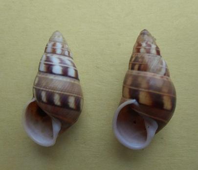 Amphidromus filozonatus (Von Martens, 1867) Dscn7011