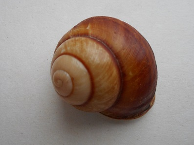 Calocochlia cailliaudi (Deshayes, 1839) Dscn7028