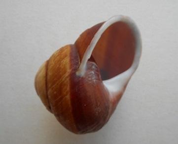 Calocochlia cailliaudi (Deshayes, 1839) Dscn7036