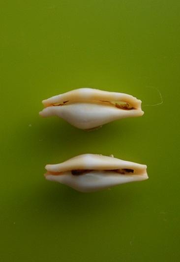 crenavolva striatula (Sowerby, 1841) Dscn7123