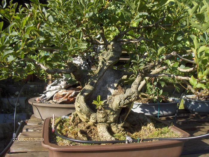 bonsai da grandi piante Cap_0010