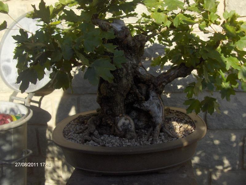 bonsai da grandi piante Cap_0410