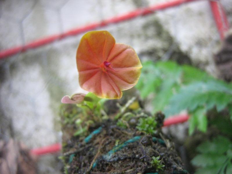 lepanthes telipogoniflora Img_0810