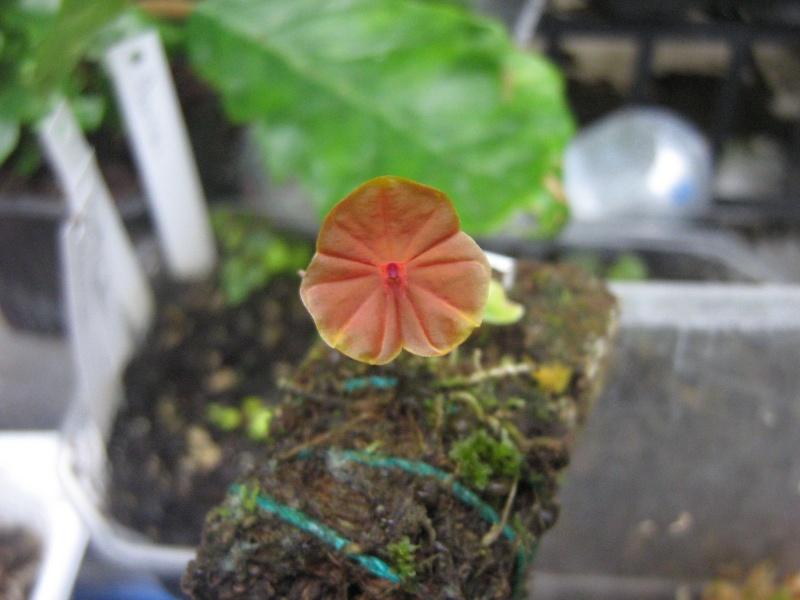 lepanthes telipogoniflora Img_0811