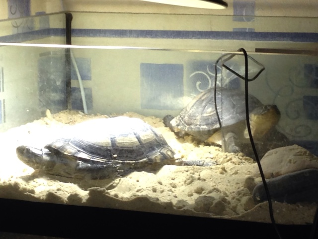 mes 2 petites  tortues - Page 2 Img_3310