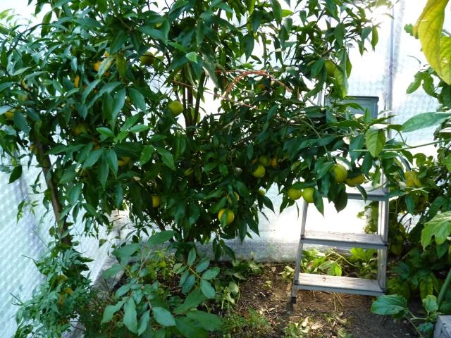 Citrus reticulata (= Citrus deliciosa) - mandarinier commun P1020510