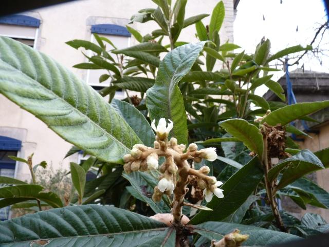 Eriobotrya japonica - bibacier, néflier du Japon P1040221