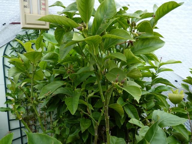Citrus limon - citronnier des quatre saisons P1040226