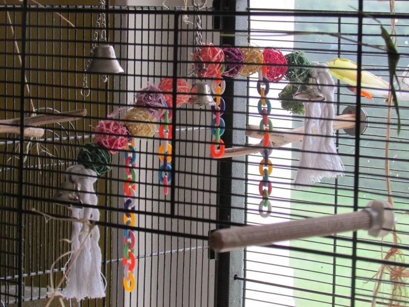 Perruches qui mangent le papier peint Img_5815