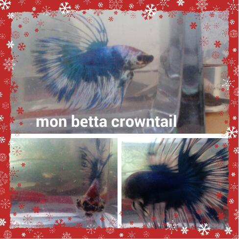 Mon nouveau betta male crowntail bleu et blanc et une femelle 2016-011