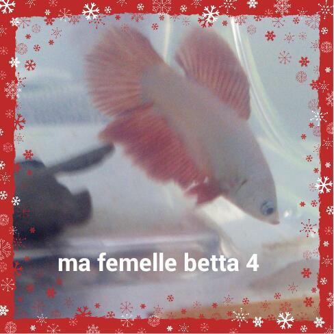 Mon nouveau betta male crowntail bleu et blanc et une femelle 2016-012