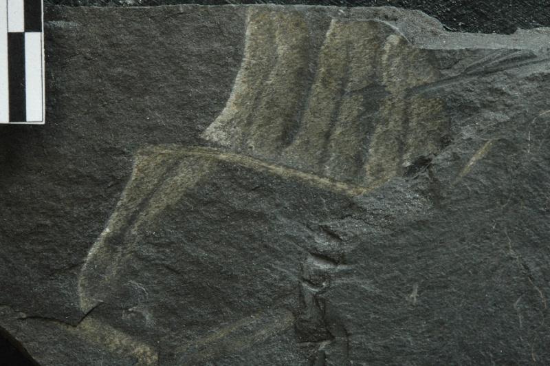 Flore Carbonifère des Alpes Françaises part 1 - Page 2 Vol_8110