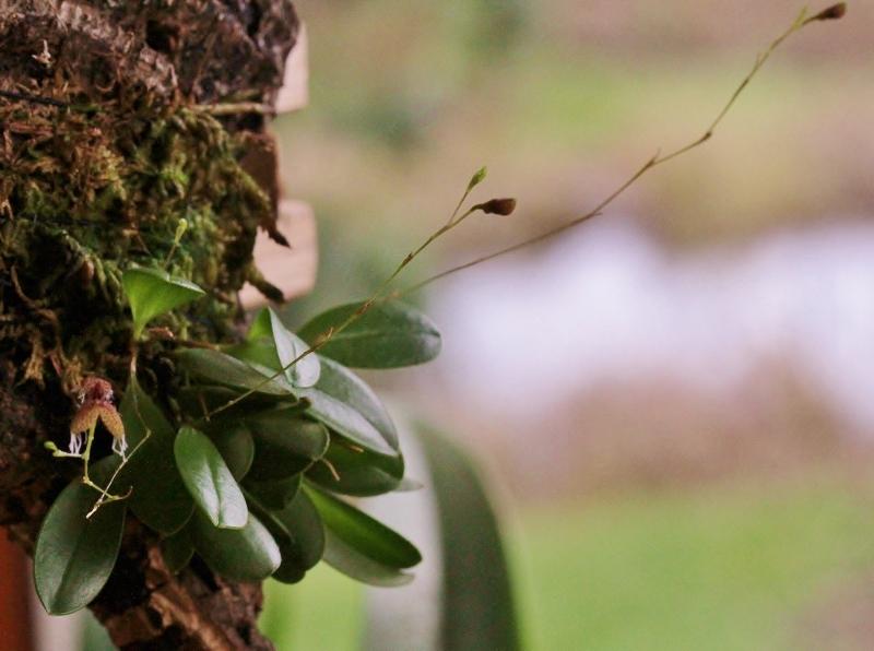 Miniatur-Orchideen Teil 3 - Seite 4 Img_0727