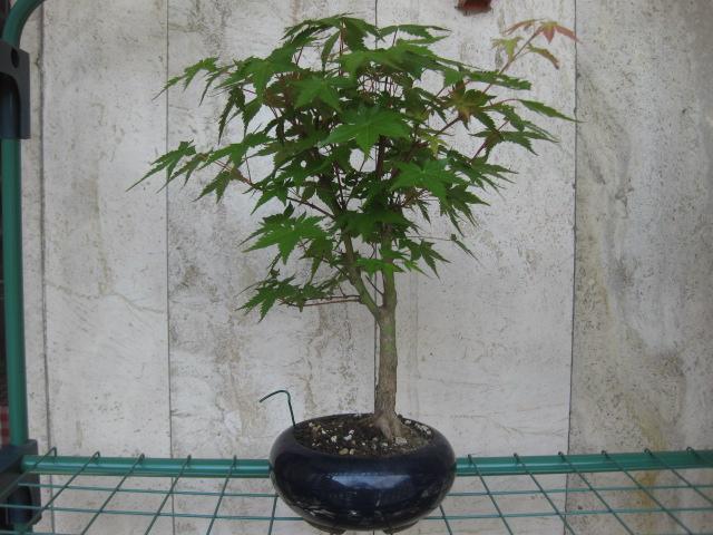 Acero palmato verde consigli Img_2414