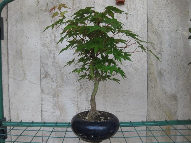 Acero palmato verde consigli Img_2415
