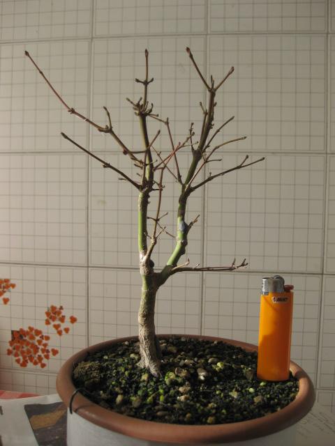 Acero palmato verde consigli Img_2512