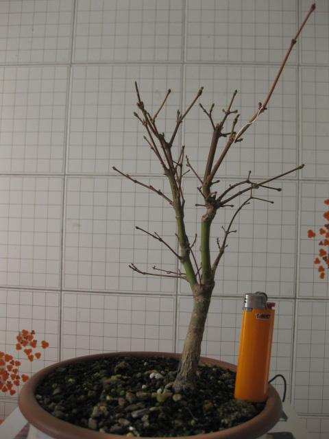 Acero palmato verde consigli Img_2517