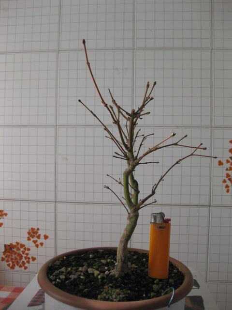 Acero palmato verde consigli Img_2518