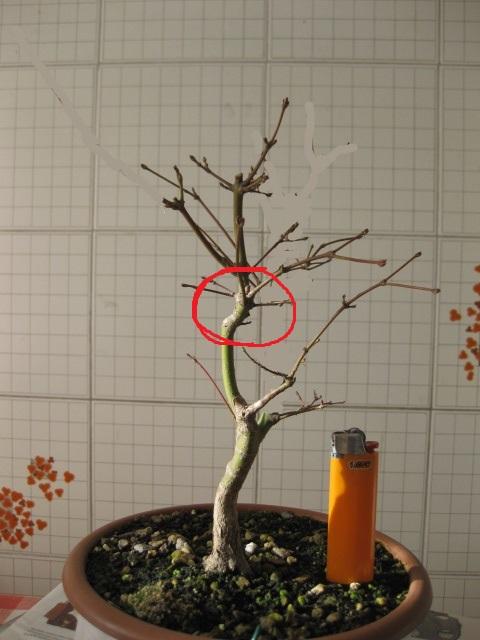 Acero palmato verde consigli Img_2528