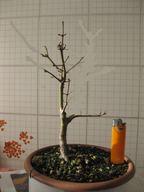 Acero palmato verde consigli Img_2529