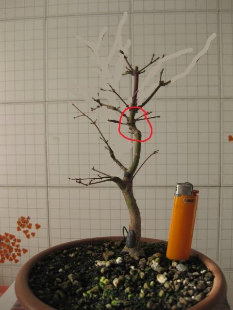 Acero palmato verde consigli Img_2532