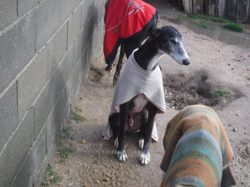 NACHO, galgo noir et blanc, 5 ans  Scooby France - ADOPTE Nacho110