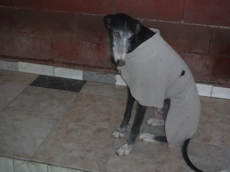NACHO, galgo noir et blanc, 5 ans  Scooby France - ADOPTE Nacho710