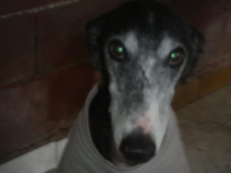 NACHO, galgo noir et blanc, 5 ans  Scooby France - ADOPTE Nacho810